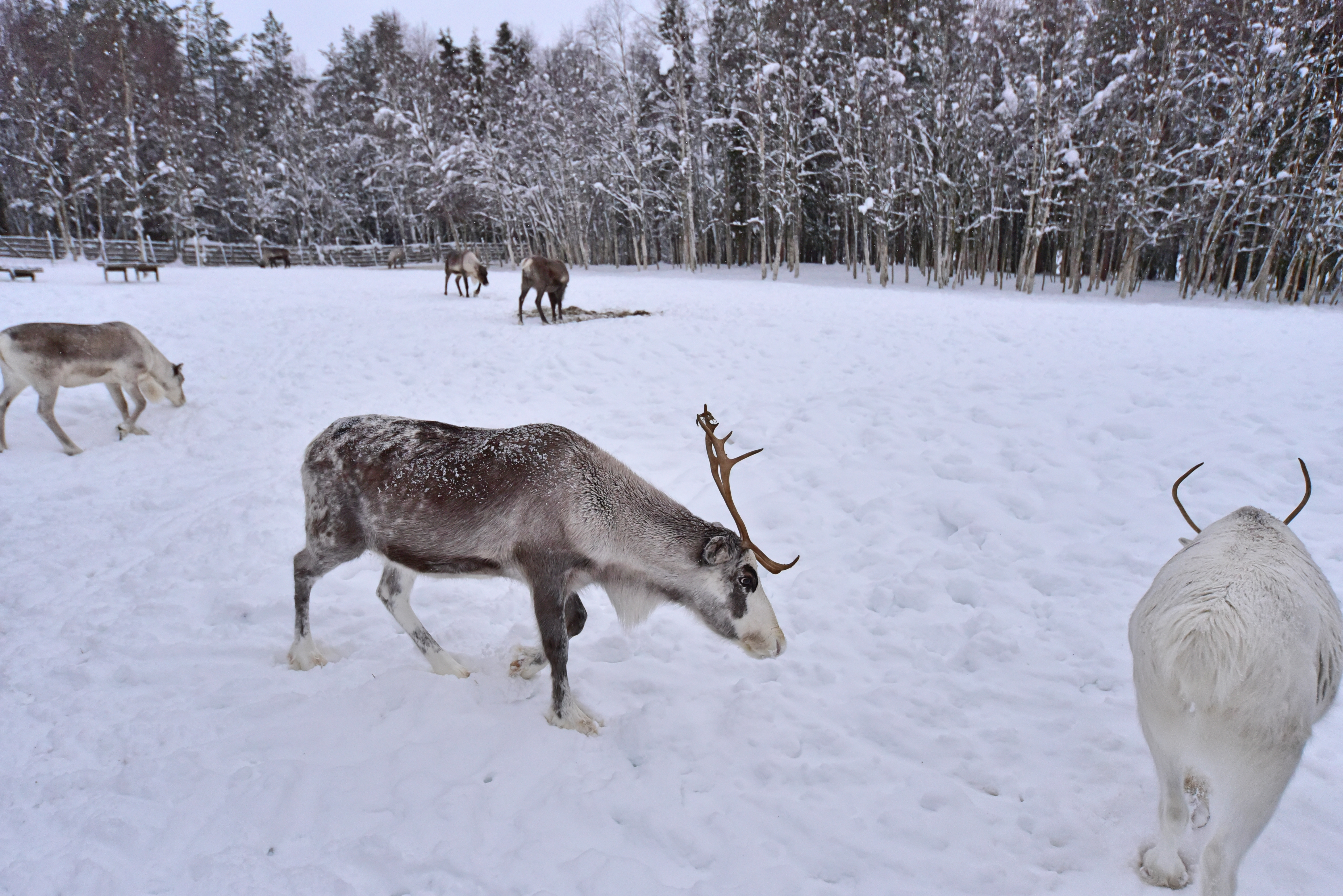 reindeer_farm